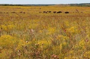 Buffalo Tallgrass Prairie Preserve; condado de Osage, Oklahoma.