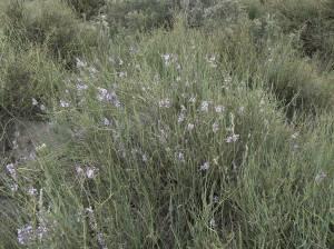 Solupe negro (Neosparton aphyllum).