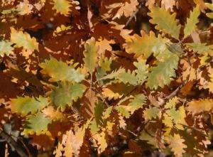 Quejigo (Quercus faginea).