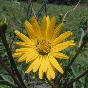 Muelle de la pradera (Silphium terebinthinaceum).